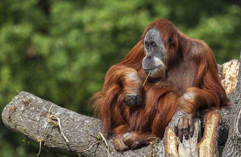 orangutan animal primate wallpaper