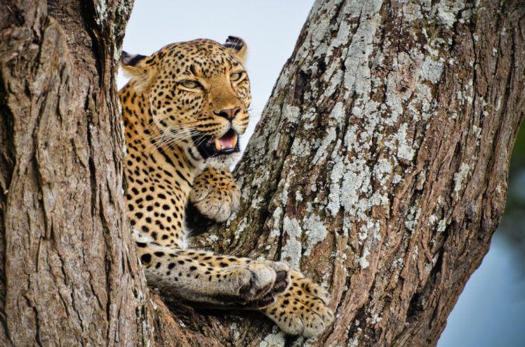 leopard african tree view predator wallpaper