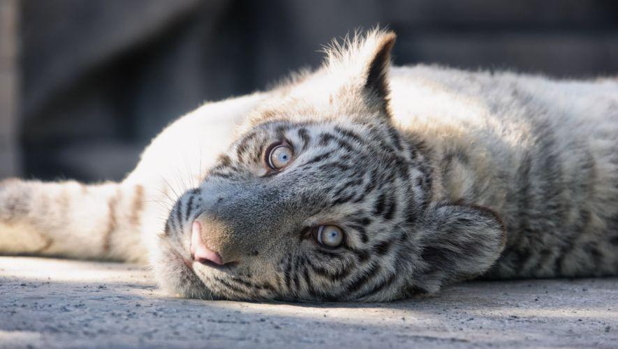 white tiger cat tiger cub kitten face eyes wallpaper
