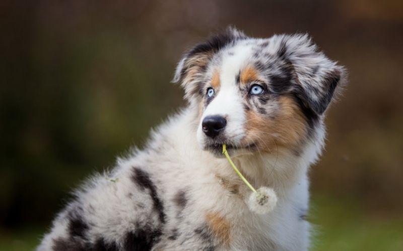 dog eyes friend Dandelion wallpaper