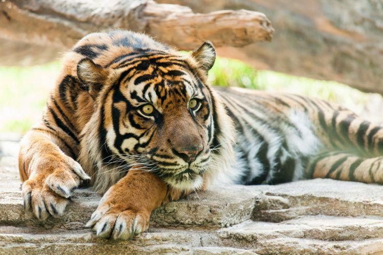 tiger wild cat predator snout wallpaper