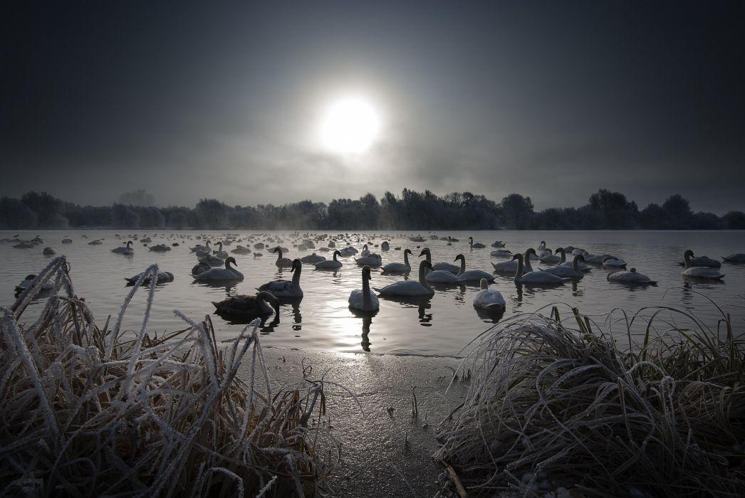 night lake swan wallpaper