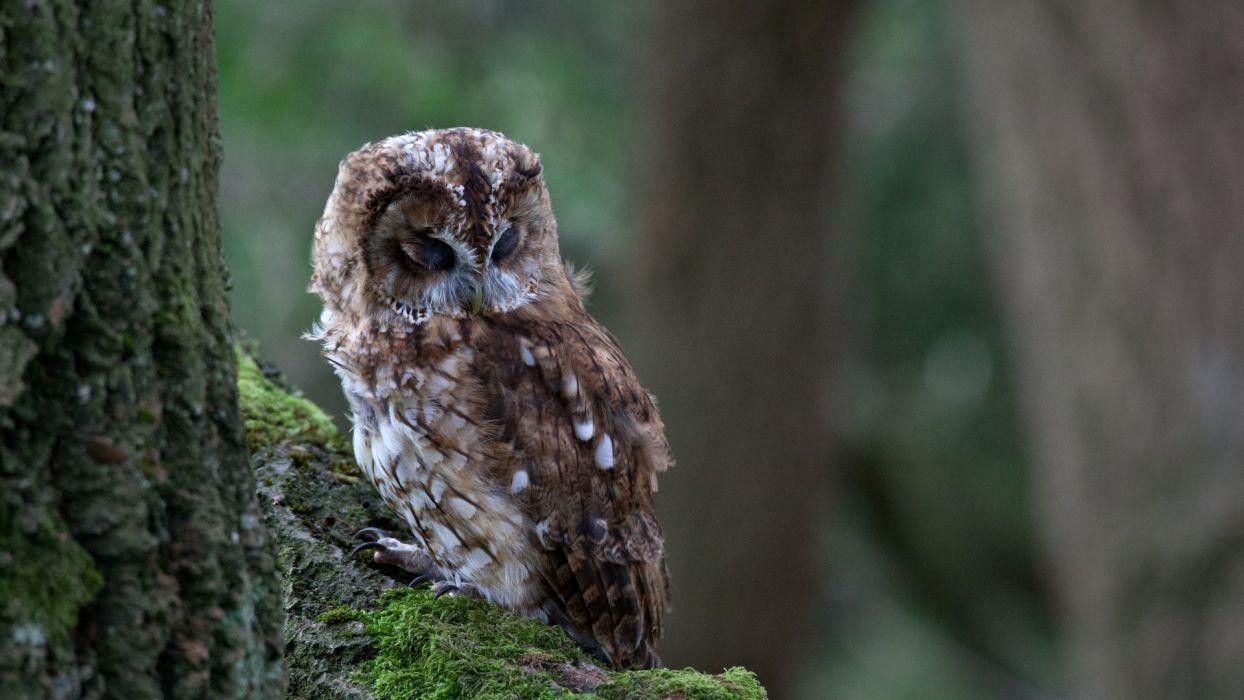 tree owl bird moss branch wallpaper