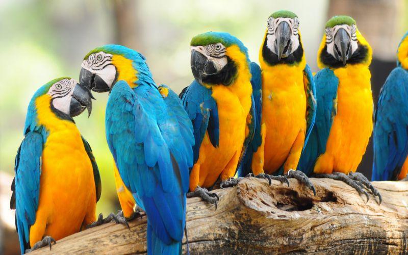 birds nature parrot macaw positive wallpaper