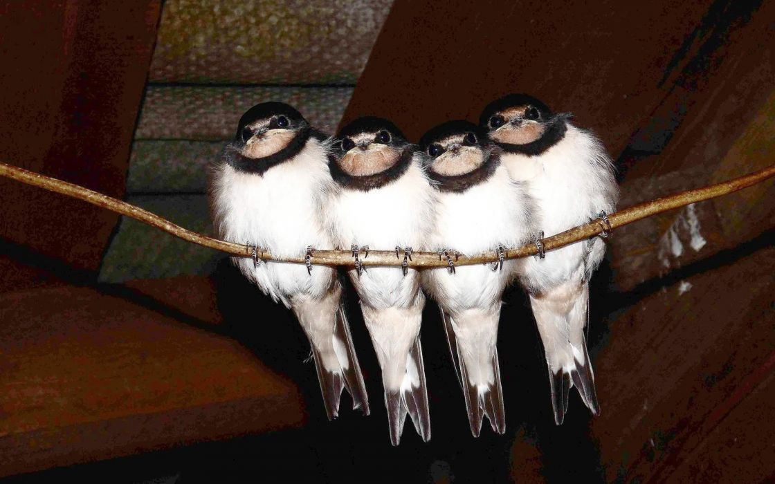 birds chicks swallow wallpaper