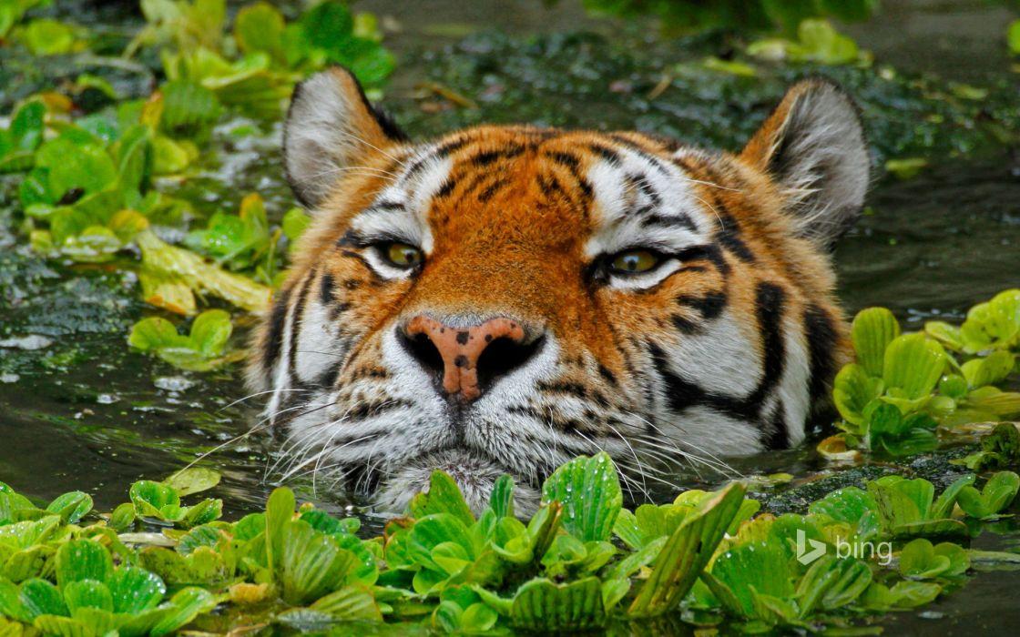 Amur tiger zoo Antwerp Belgium wallpaper