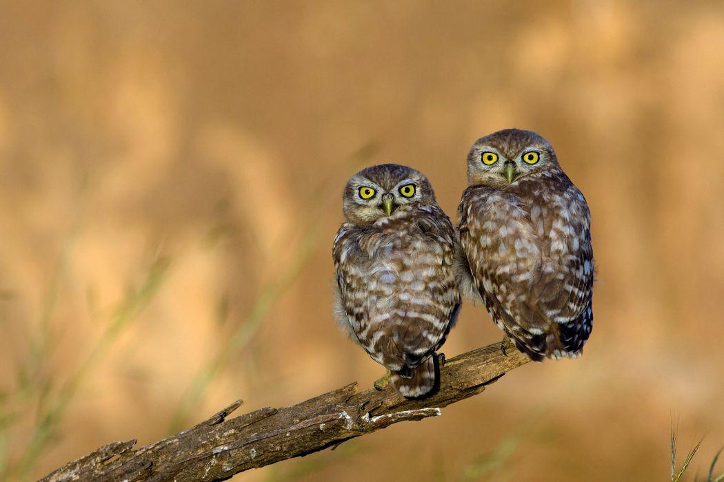 owl eagle owl eyes beak feathers wallpaper