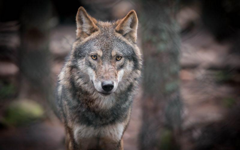 predator gray wolf eyes wallpaper