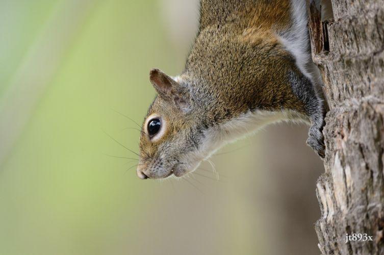 squirrel rodent small mammal muzzle wallpaper