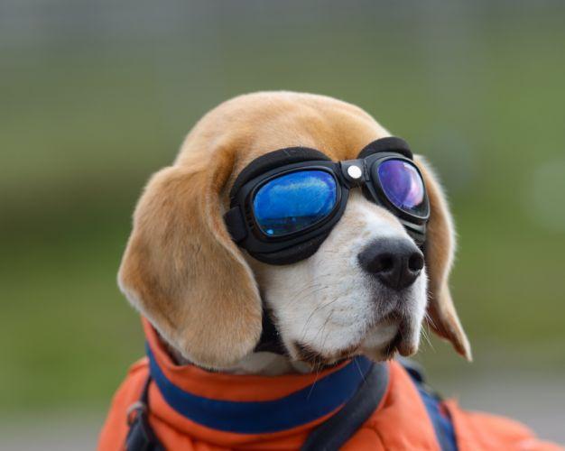 Dog Beagle Glasses Animals wallpaper