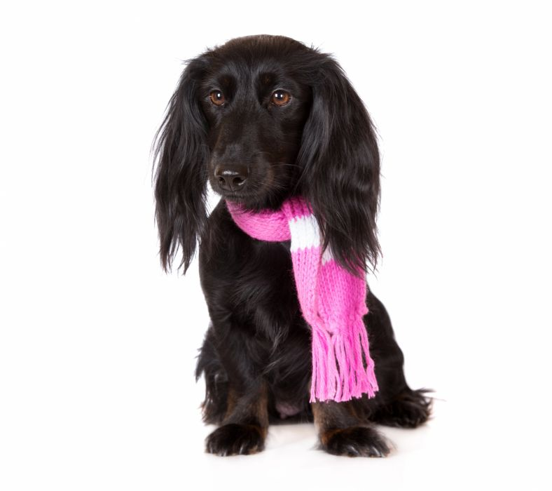 Dog Dachshund Black White wallpaper