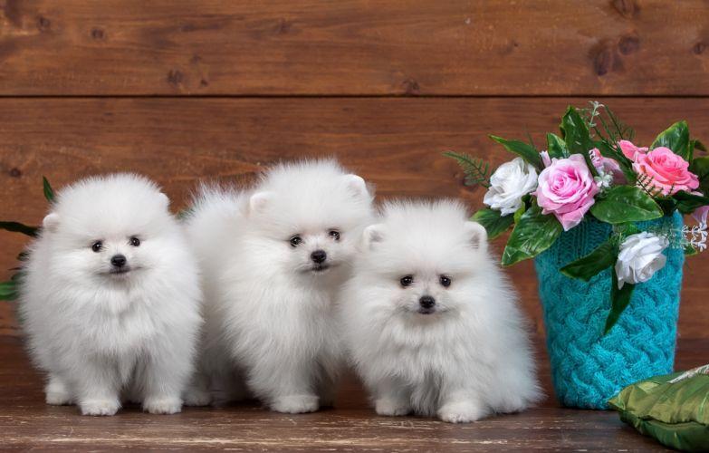 Spitz White Three 3 Puppy Animals wallpaper