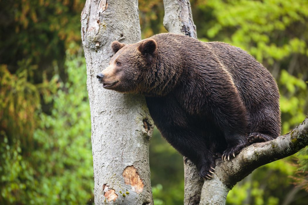 Bear Brown Bears Trunk tree Animals wallpaper