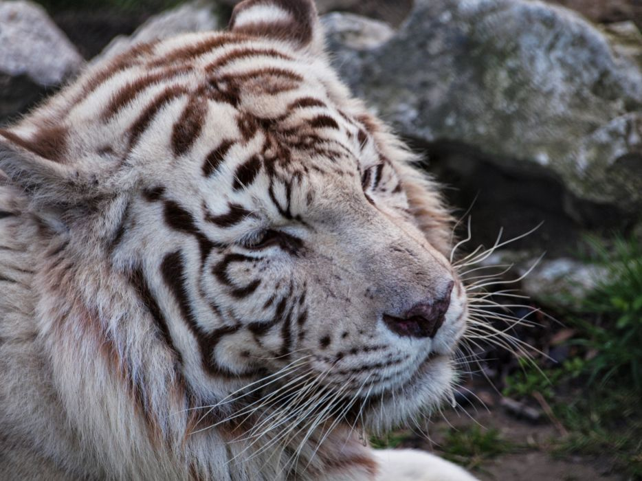 Big cats Tiger Snout White bengal Animals wallpaper