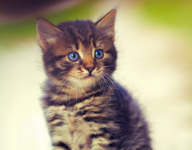 Cat Kitten Glance Animals wallpaper