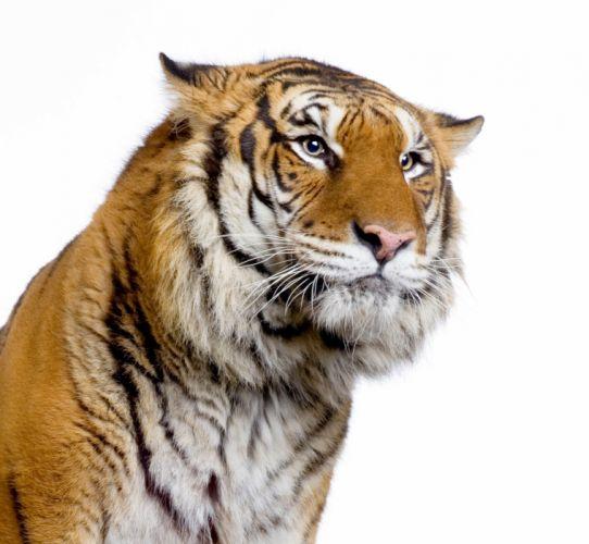 Big cats Tiger White wallpaper