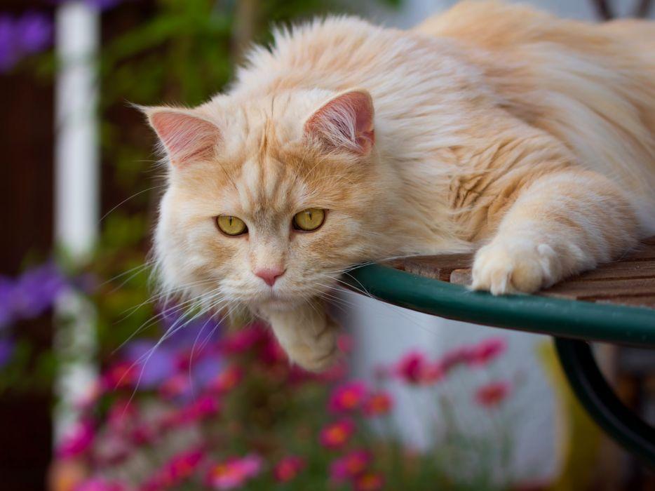 Cat Glance Ginger color Animals wallpaper