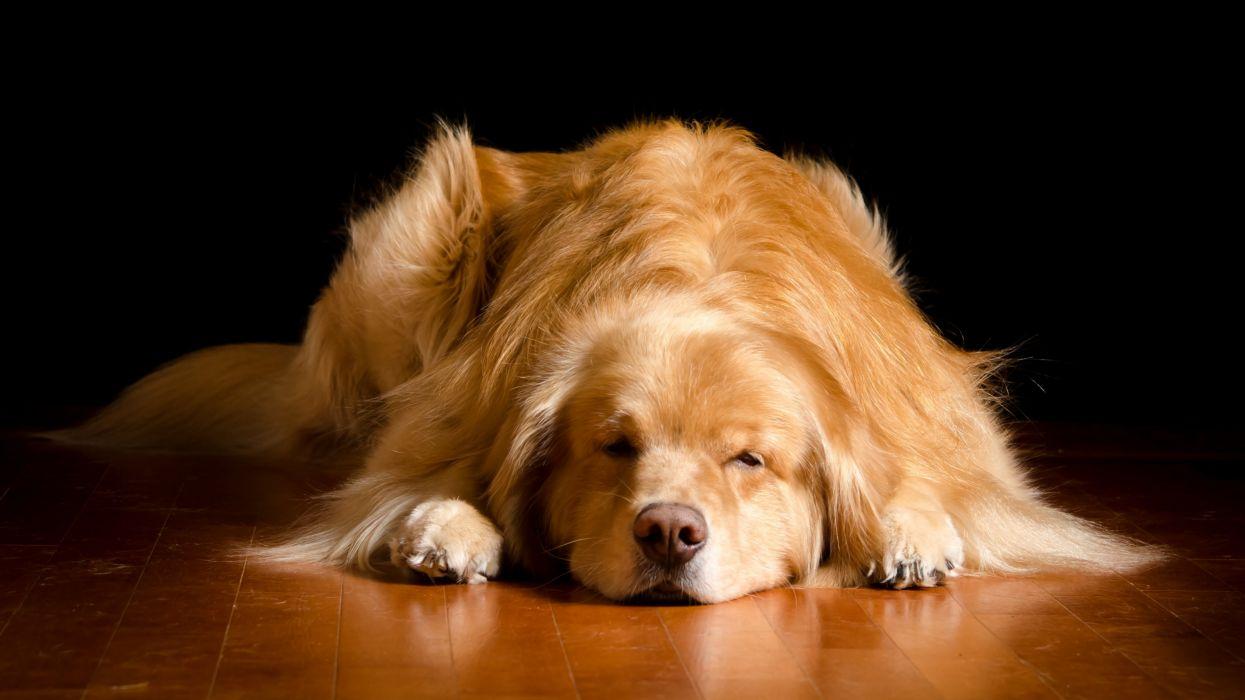 Dog Retriever Sleep Animals wallpaper