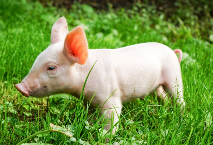 Domestic pig Grass Animals wallpaper