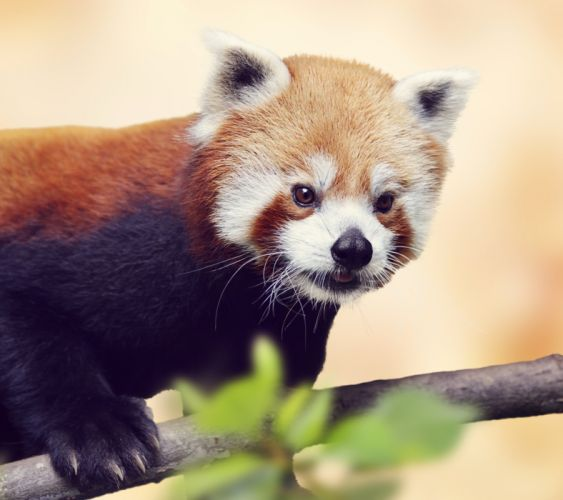 Panda Red panda Glance Animals wallpaper