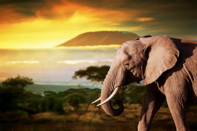 Elephant Animals wallpaper
