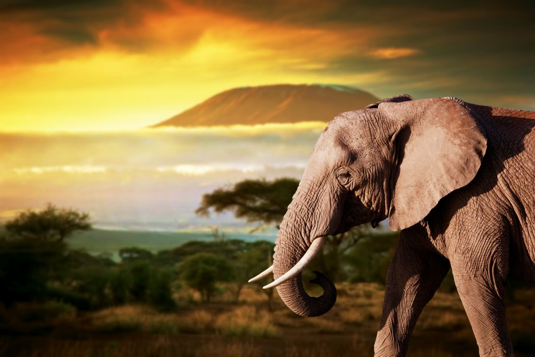 Elephant Animals wallpaper