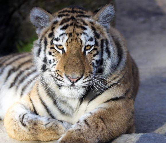 Big cats Tiger Animals wallpaper