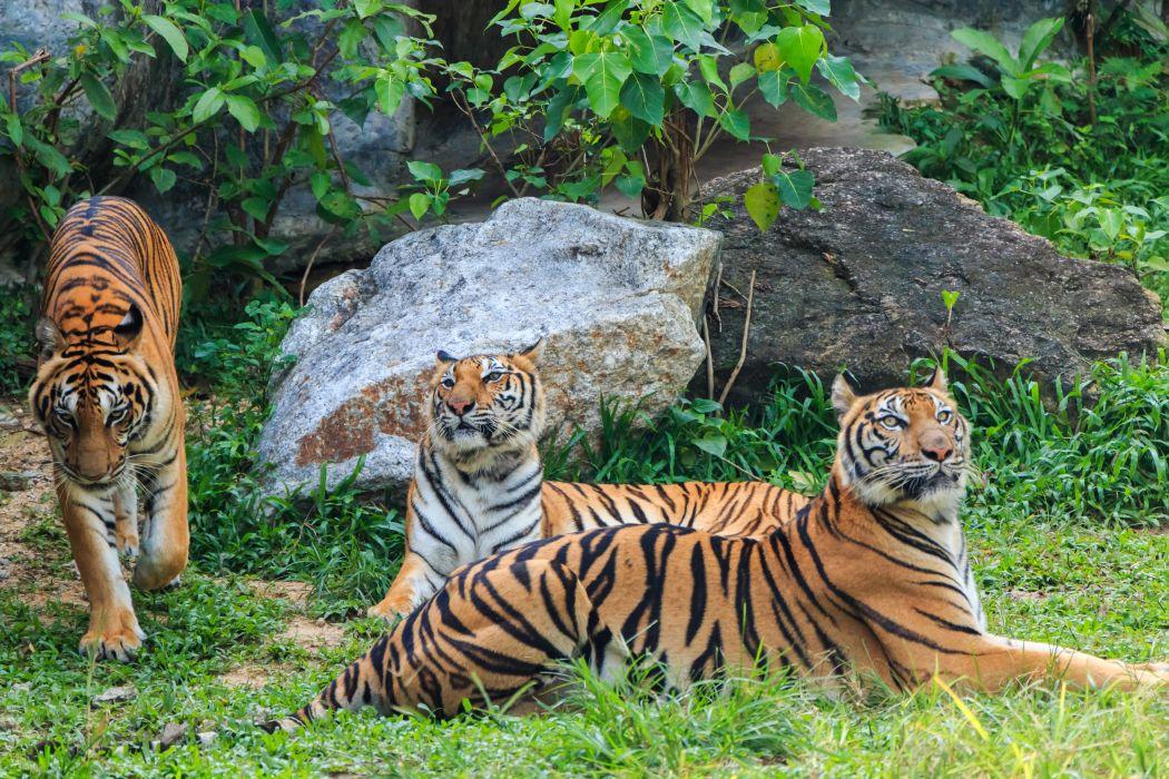 Big cats Tiger Stones Three 3 Animals wallpaper