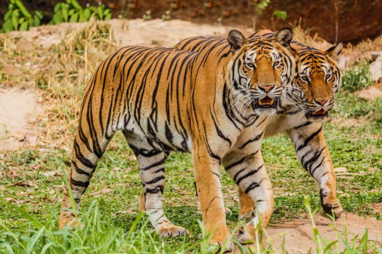 Big cats Tiger Two Animals wallpaper