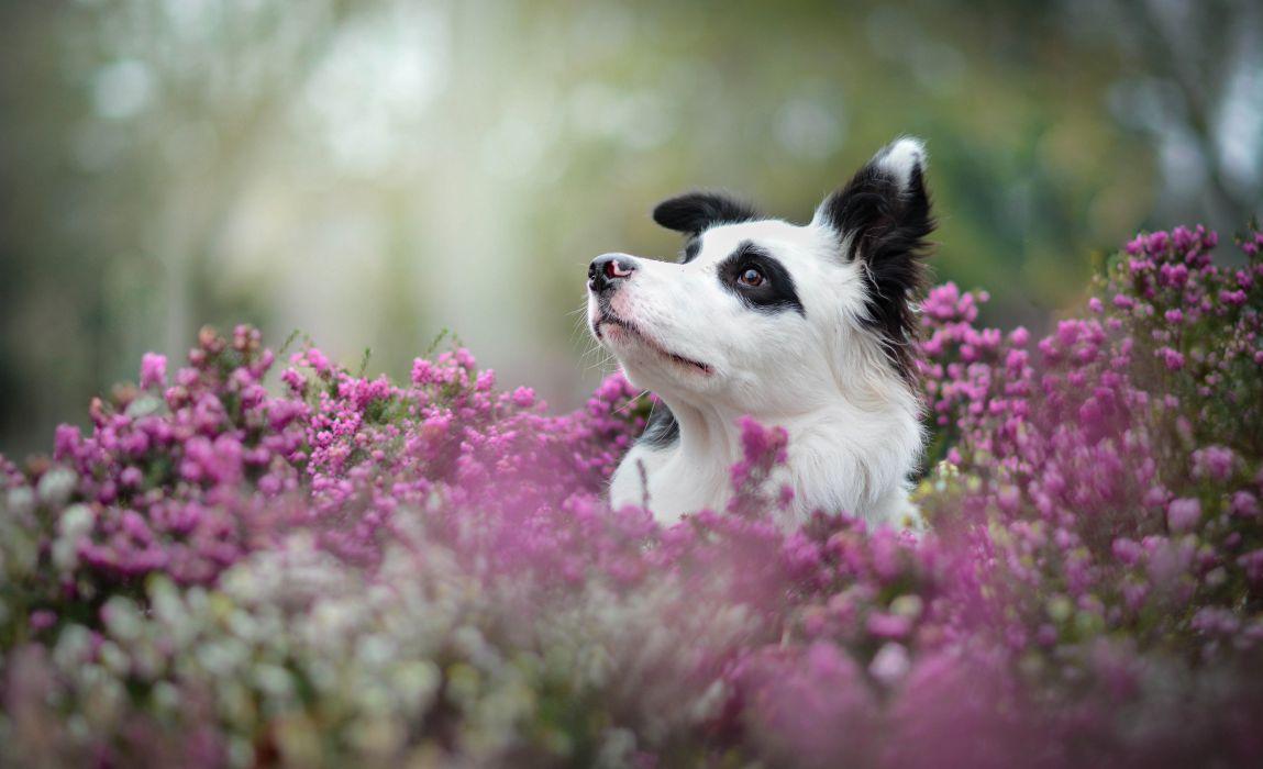 Dog Border Collie Animals wallpaper
