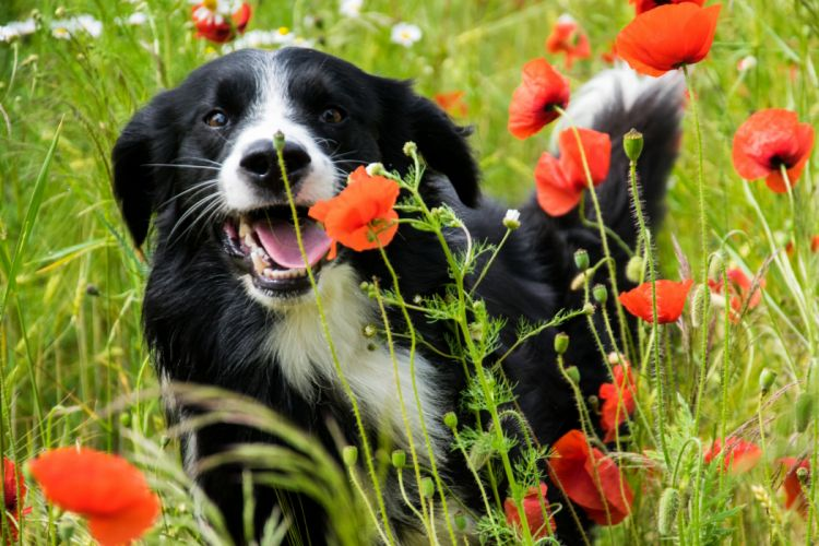 Dogs Poppies Animals wallpaper
