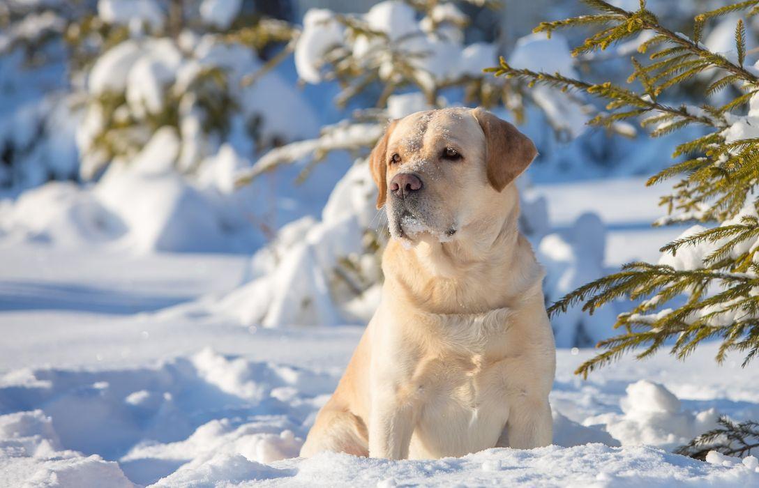 Dogs Snow Retriever Animals wallpaper
