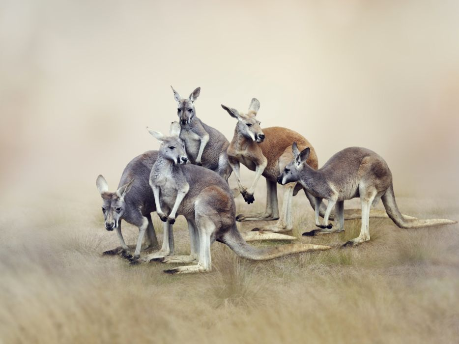 Kangaroo Animals wallpaper