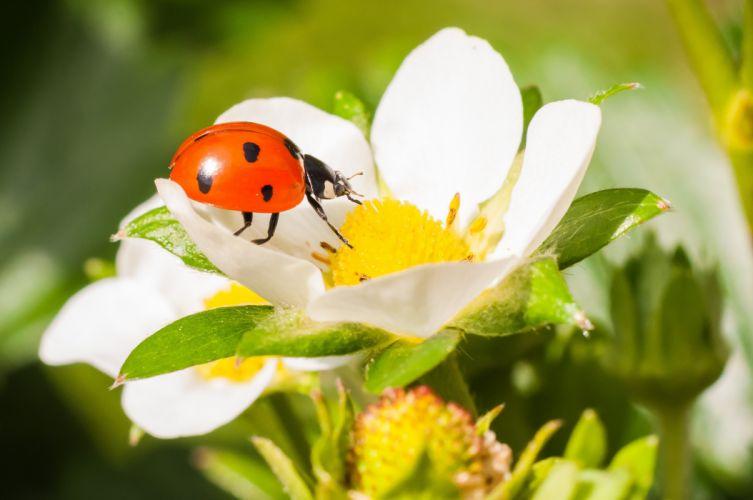 Ladybugs Closeup Animals wallpaper