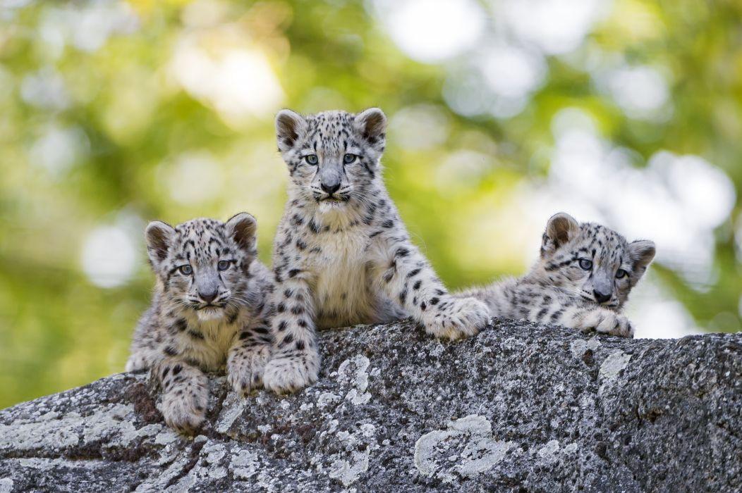 Snow leopards Cubs Three 3 Animals wallpaper