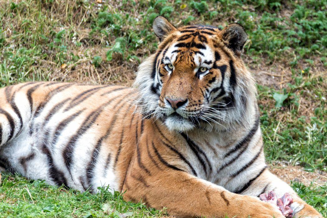Big cat Tiger Animals wallpaper