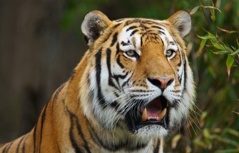 Tigers Snout Animals wallpaper