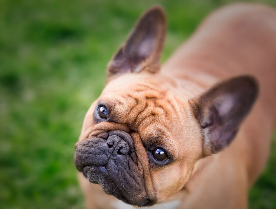 Dogs Bulldog Glance Snout French Animals wallpaper