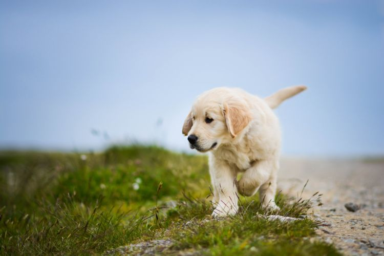 Dogs Grass Retriever Animals wallpaper