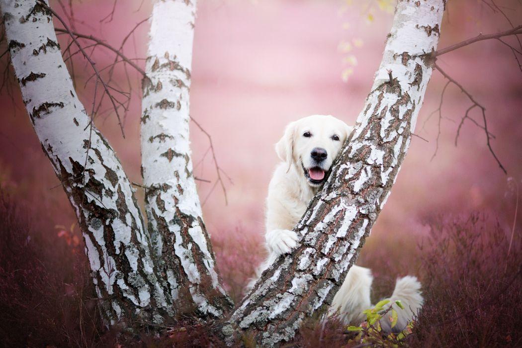 Dogs Birch Trunk tree Retriever Animals wallpaper