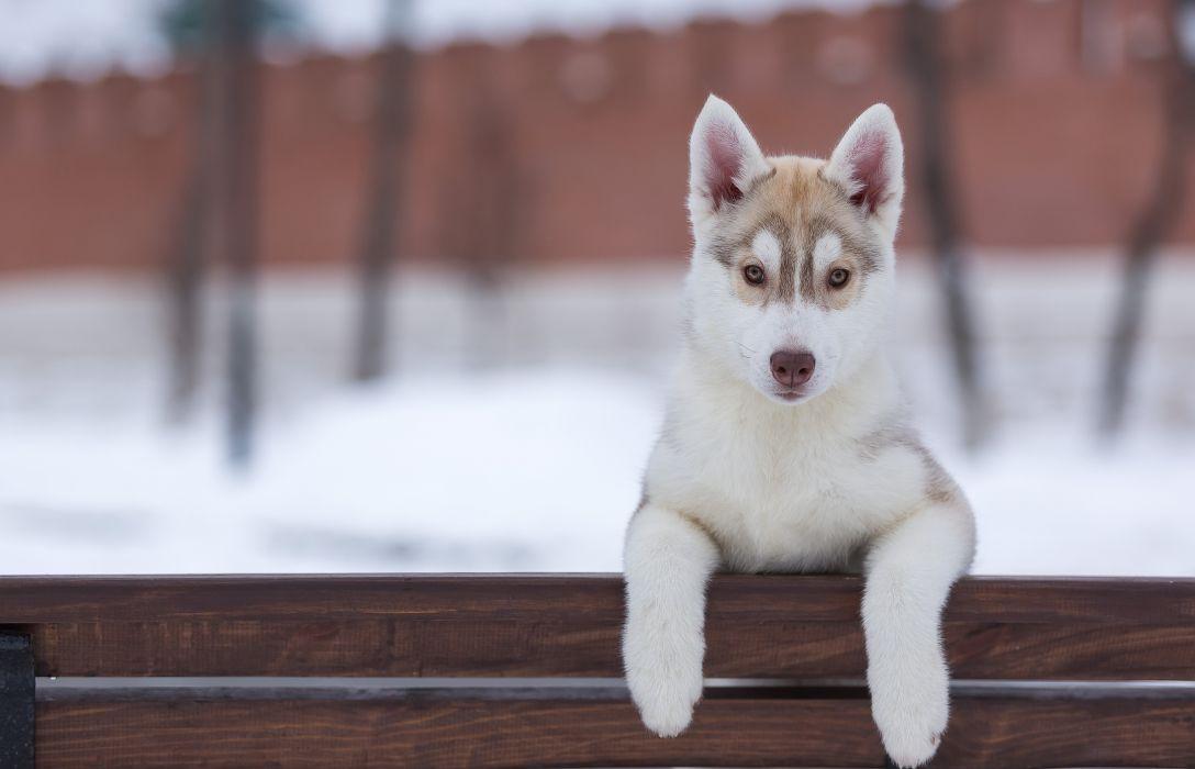 Dogs Husky Puppy Animals wallpaper