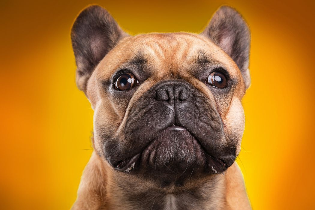 Dogs Colored background Bulldog Snout Animals f wallpaper