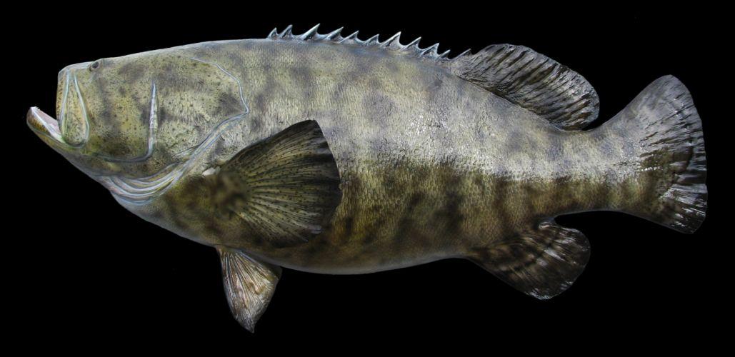 Fish Closeup Black background GROUPER FISH Animals wallpaper