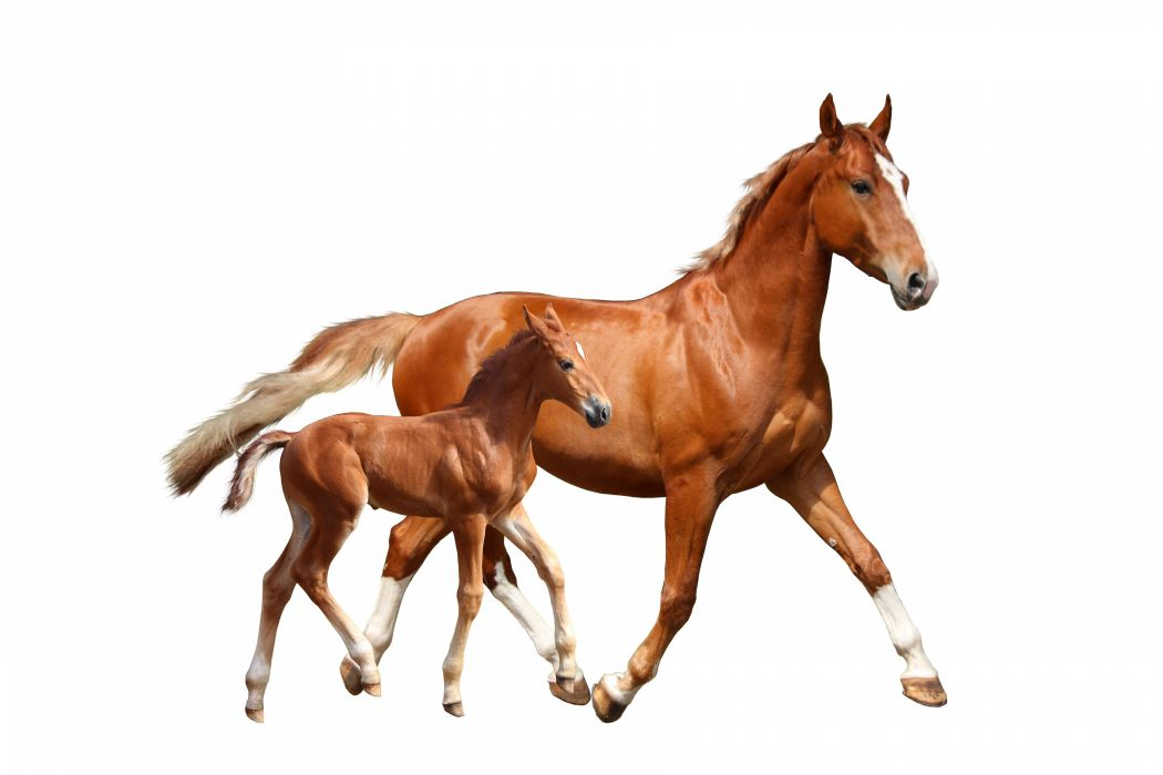 Horses Cubs White Background Two Animals Wallpaper 3600x2400 996381 Wallpaperup