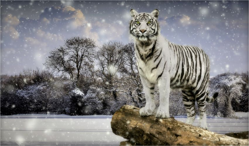 Tigers Winter White Snowflakes Animals wallpaper