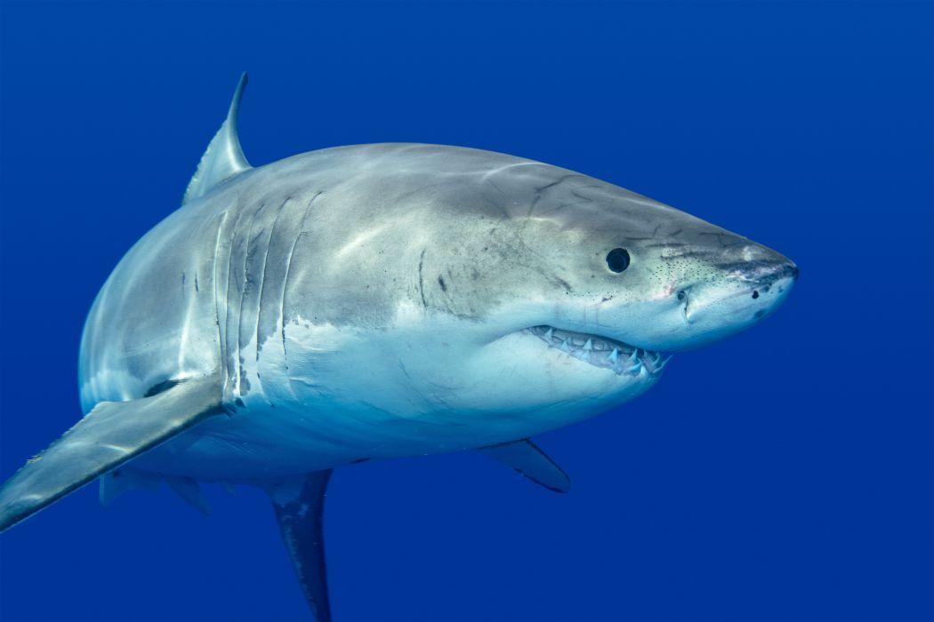 Sharks Animals wallpaper