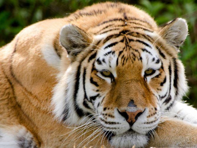 Big cats Tigers Snout Animals wallpaper