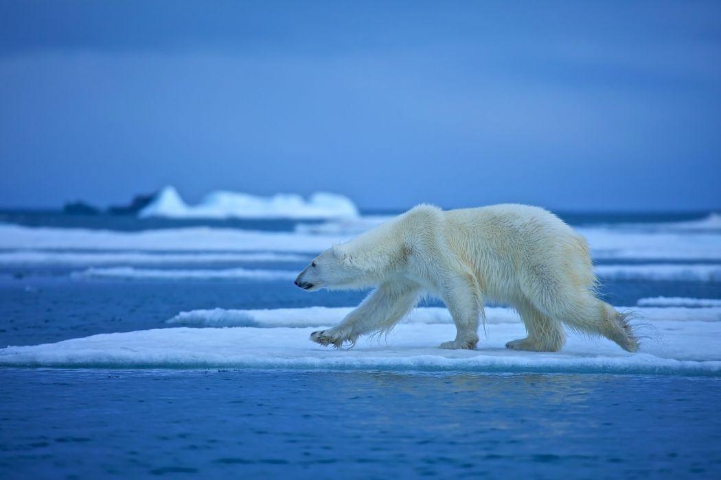 Bears Polar bears Ice Animals wallpaper