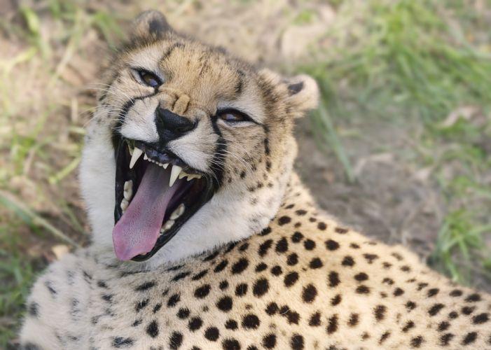 Big cats Cheetahs Snout Roar Animals wallpaper