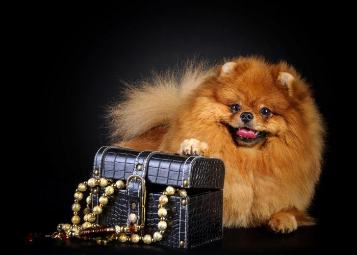 Dogs Jewelry Spitz Black background Animals wallpaper